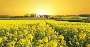 A-field-of-yellow-flowers-860x450_c